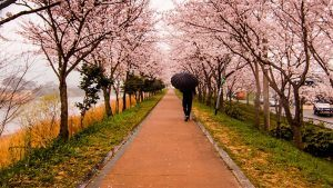 adventure and exotic food Salted Cherry Blossoms in Japan
