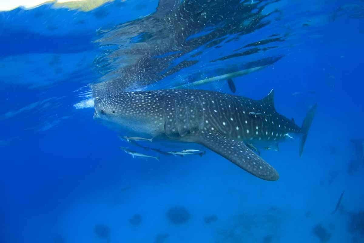 points of interest where to go and places to visit in the philippines donsol whale shark