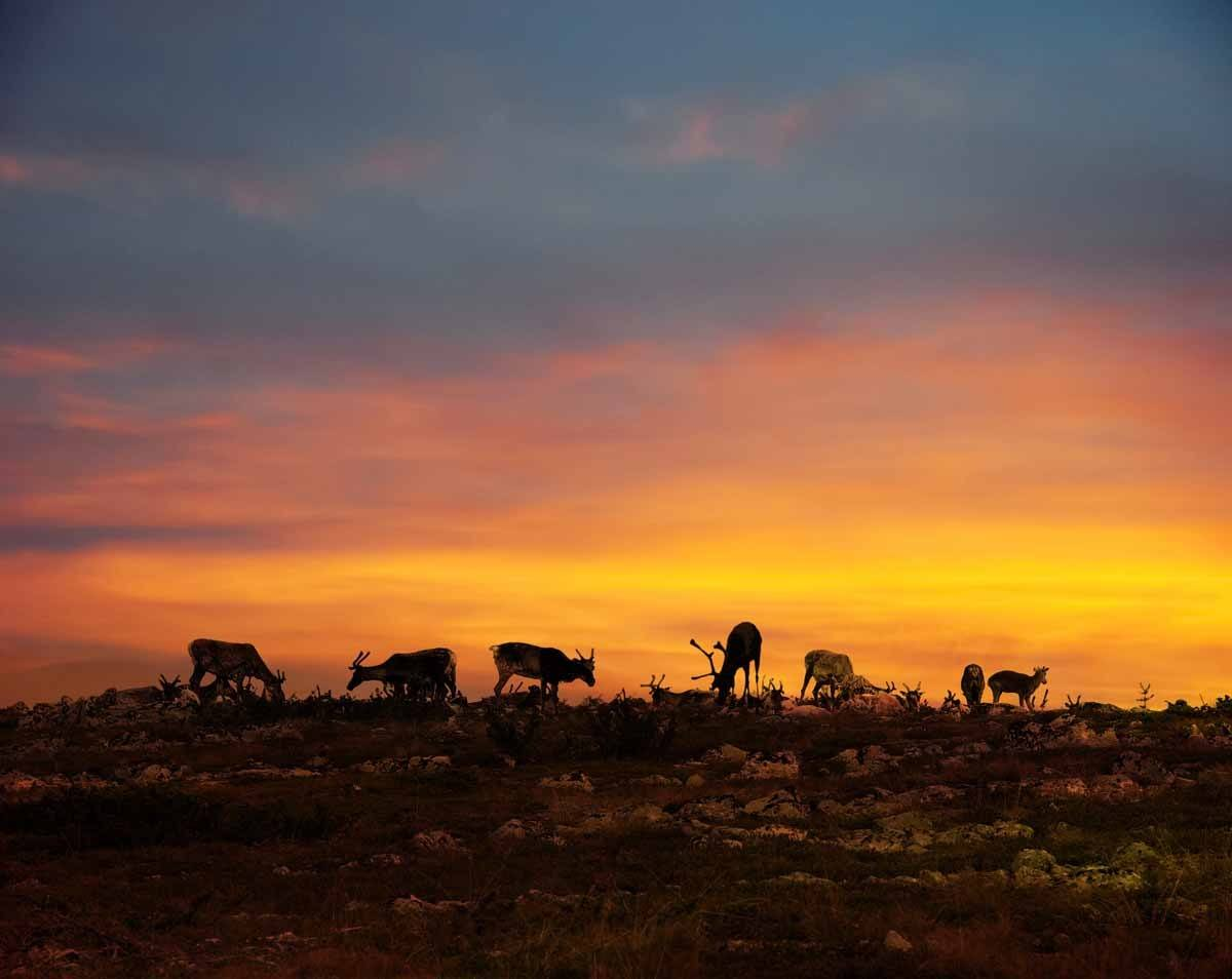 top countries in the world where to see the midnight sun finland lapland reindeer