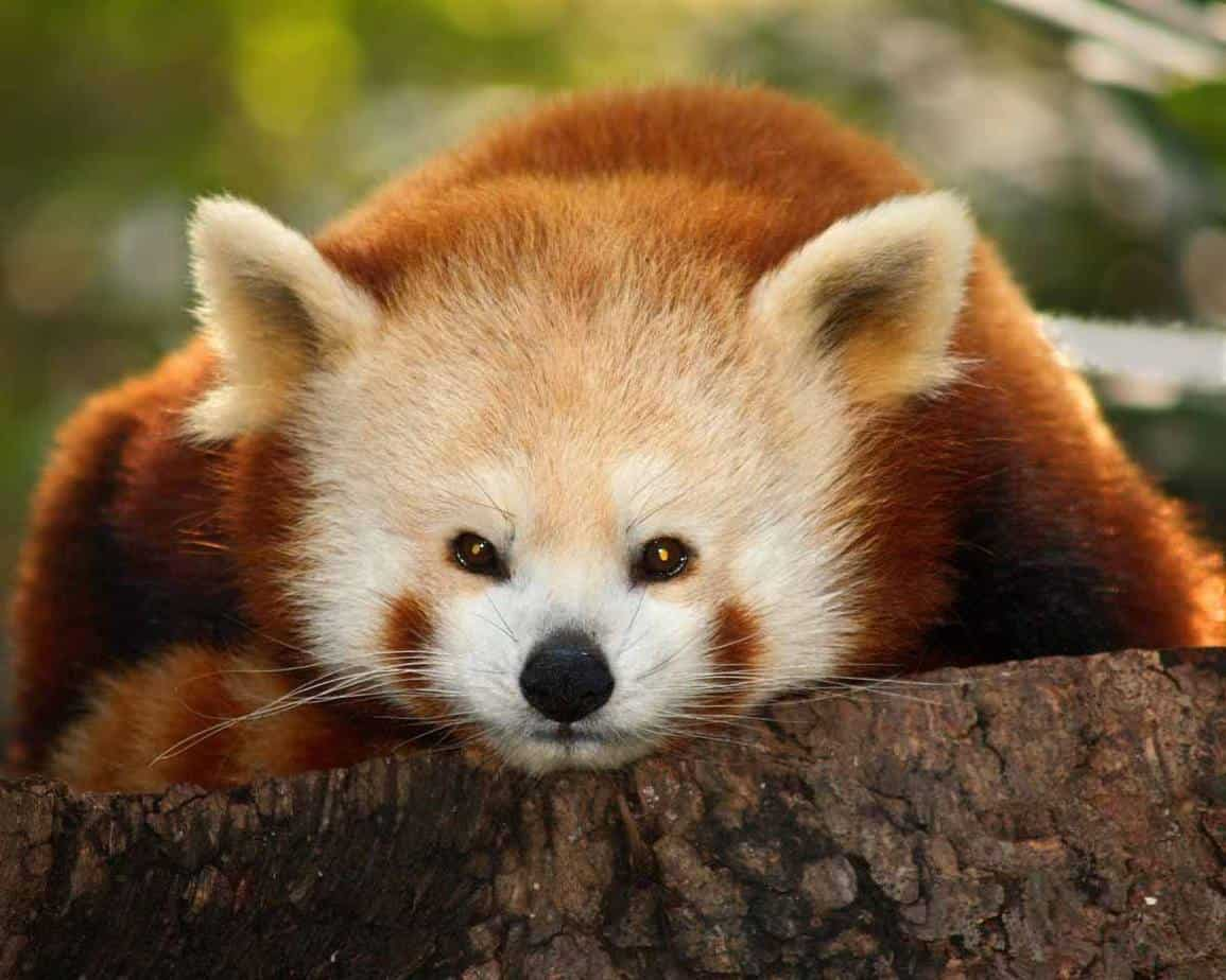 top tourist attractions in new york city usa bronx zoo red panda