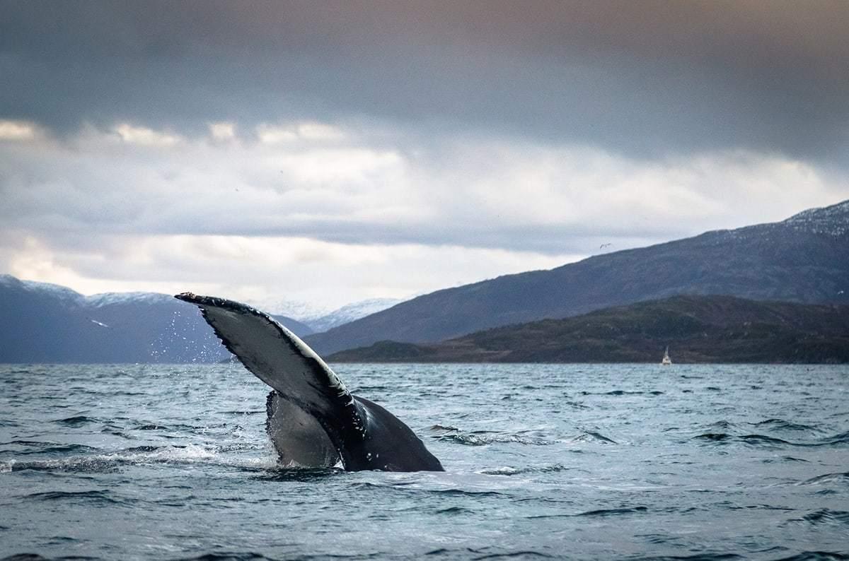 Best tours in Norway: Whale watching in Tromsø