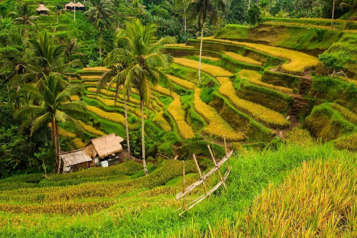 Tegallalang Rice Terraces ubod bali