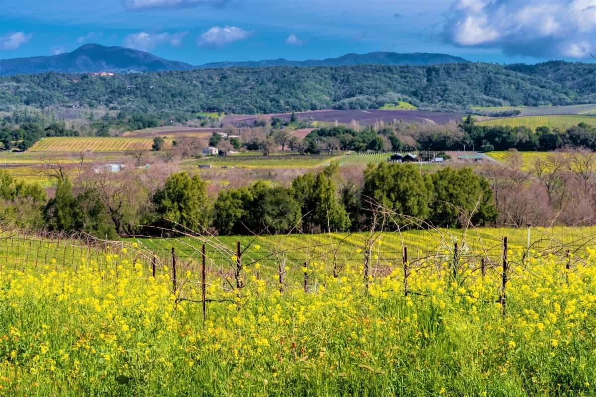 Wine vineyard in Sonoma County California USA