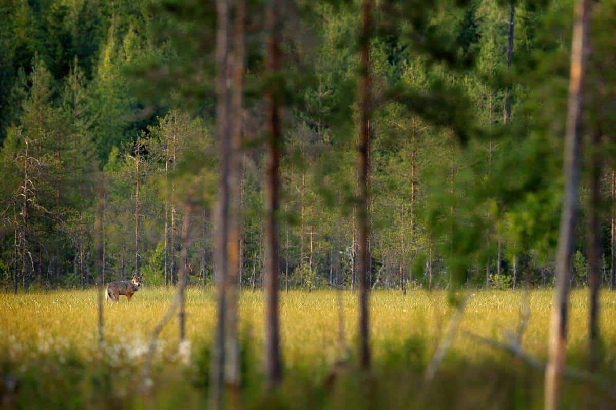 Wild animal in the Finland Wild Taiga