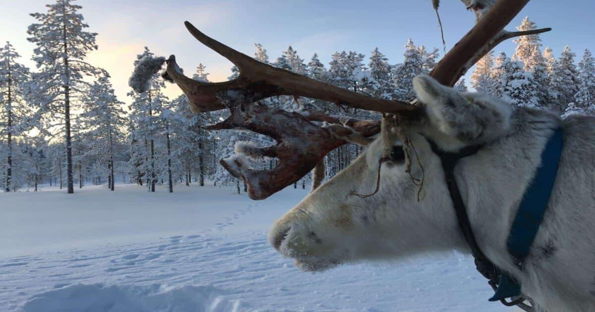 Reindeer safari in Salla, Finnish Lapland