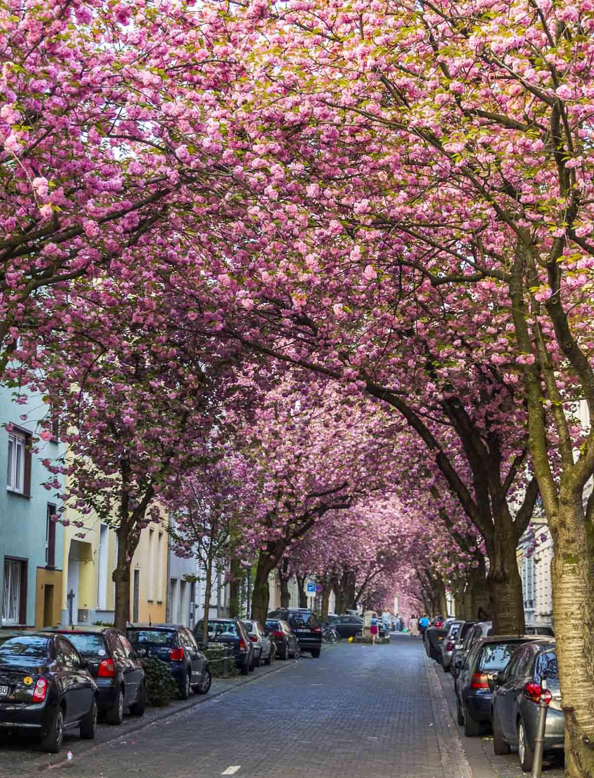 spring destinations in europe bonn germany cherry blossom