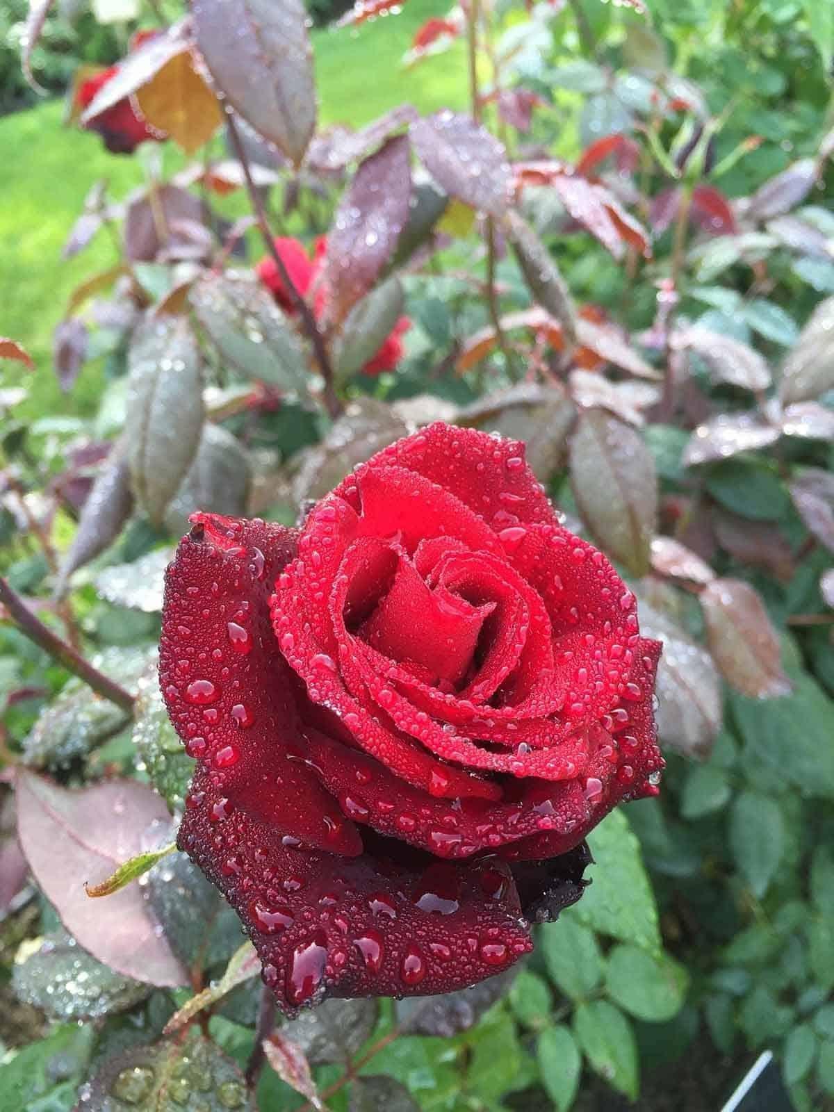 top tourist attractions in tampere finland hatanpaa arboretum rose garden